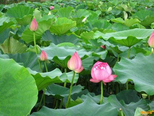 注意事项_中国滕州微山湖湿地红荷风景区